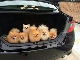 Pomeranian Meme - trunk full of pomeranians dogs know your meme