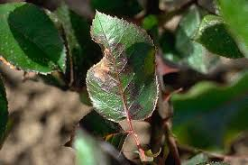 Tropical Plant Diseases - diseases and abiotic disorders of outdoor roses