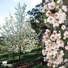 ornamental pear aristocrat perth wa garden centre
