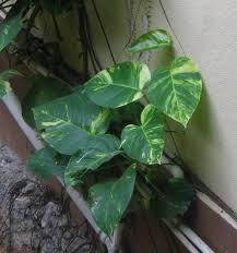 garden houseplants for low light golden pothos golden pothos