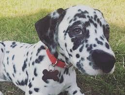 17 dalmatian pup parents understand barkpost