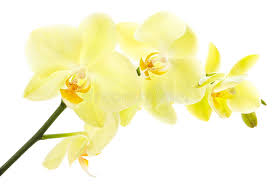 Yellow Orchid Yellow Orchid Stock Photos Image 32875493