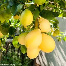 citrus species cvs inland valley garden planner