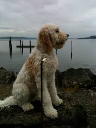 haircutsfordogs poodlemix labradoodle a lab mixed with a poodle makes for a large hypo