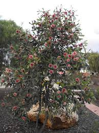era nurseries buy trees online wholesale australian native also know as australian tea tree leptospermum laevigatum most