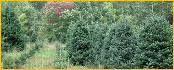 north carolina choose n cut christmas tree farm fraser fir care