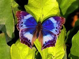 black blue butterfly leaves white image 485634 on favim com