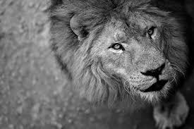 imagenes de leones salvajes gratis león naturaleza salvaje feroz foto gratis en pixabay
