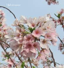 Cherry Blossom Tree Facts by The Yoshino Cherry Tree Easy Backyard Gardening