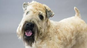 wheaten haircuts wheaten terrier haircut styles image collections haircuts for men