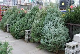 choosing a cut christmas tree what grows there hugh conlon