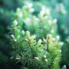 Real Christmas Trees Ipswich Caring For Christmas Trees Pines And Needles