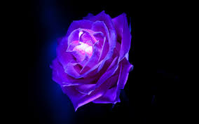 purple purple rose flowers 6923760