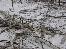why thieves are cutting swaths of birch trees in minnesota and