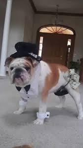English Bulldog Halloween Costumes 663 Bulldog Images Animals English Bulldogs