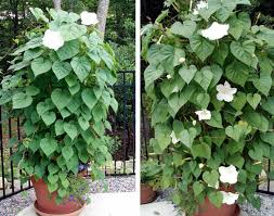 Fragrant Plants For Shade - 24 best vines for containers climbing plants for pots balcony