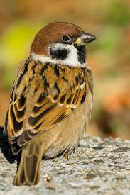 Pennys Curtains Joondalup by Eurasian Tree Sparrow L Passer Montanus N Pilfink Birds