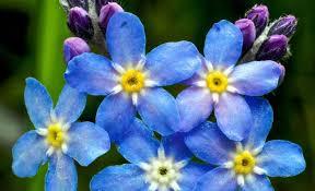 imagenes flores bellisimas imágenes de flores hermosas imagenes de rosas azules