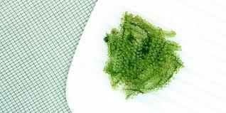 comment cuisiner les algues algues des aliments bons pour la santé et le moral