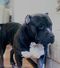 american pitbull terrier kennels usa american pit bull terrier and american bully dog breeder in