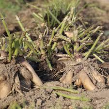 poire de terre cuisine poire de terre ab ferme de sainte marthe