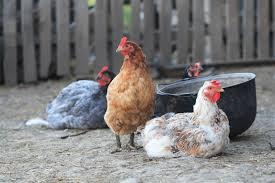 chickens in backyard backyard chickens 101 tucson botanical garden
