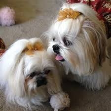 pictures of shorkie dogs with long hair shih tzu topknots and bows how to with photos