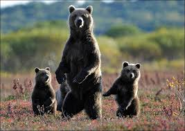 Animal Planet Documentary Grizzly Bears Full Documentaries - help us fund documentaries to showcase our stunning wildlife
