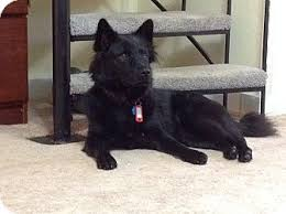 american eskimo dog breeders new england velvet adopted dog westfield ma american eskimo dog border