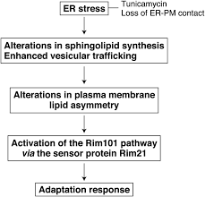 the rim101 pathway contributes to er stress adaptation through