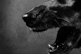 devil dogs the mysterious black dogs of england red eyes