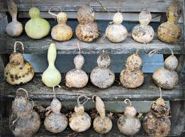 39 best gourd growing drying cleaning images on