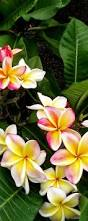 Fragrant Tropical Plants 40 Best Rooted Plumeria Seedling Images On Pinterest Tropical