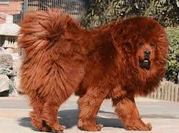 lion dogs lion dog breed search all things dog