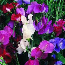 sweet peas flowers current world news beautifully scented sweet pea flowers
