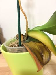 Why Are My Plants Turning by Why Are My Orchid Leaves Turning Yellow Updated 3 1 17 Gallery