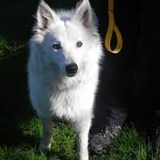 american eskimo dog ireland lost dogs found dogs adopt u0026 rehome wanted dogs ireland pet