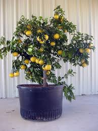 best 25 citrus trees ideas on pinterest lemon tree plants