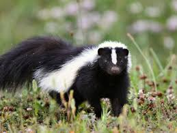 Rhode Island Wild Animals images How to deal with problem skunk in rhode island jpg