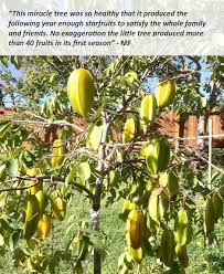 starfruit tree fast growing trees com