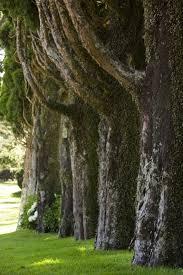 specimen trees are they worth it gardenista