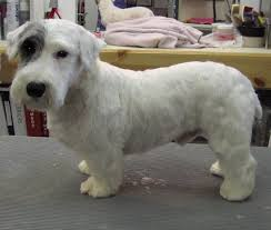 grooming a bedlington terrier puppy hammer the seely 2nd groom quick e mail view jpg