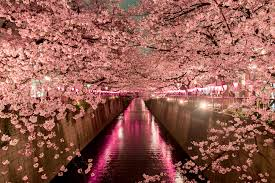 when to see japan s cherry blossom trees in bloom
