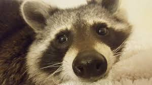 this woman u0027s raccoon just saved her life