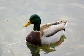 victoria daily photo mallard ducks anas platyrhynchos