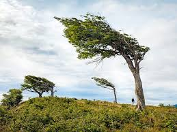 permanently windswept trees in argentina