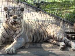 white tigers the