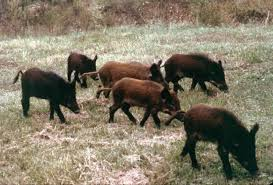 Texas wildlife images Texas weighs using bacon preservative to poison feral hogs san jpg