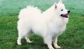 american eskimo dog short hair discovering my love for dogs overcoming my fear of them u2013 1
