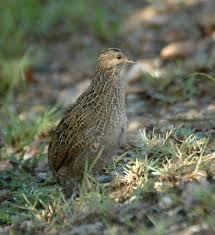 backyard poultry forum u2022 view topic what are we quail